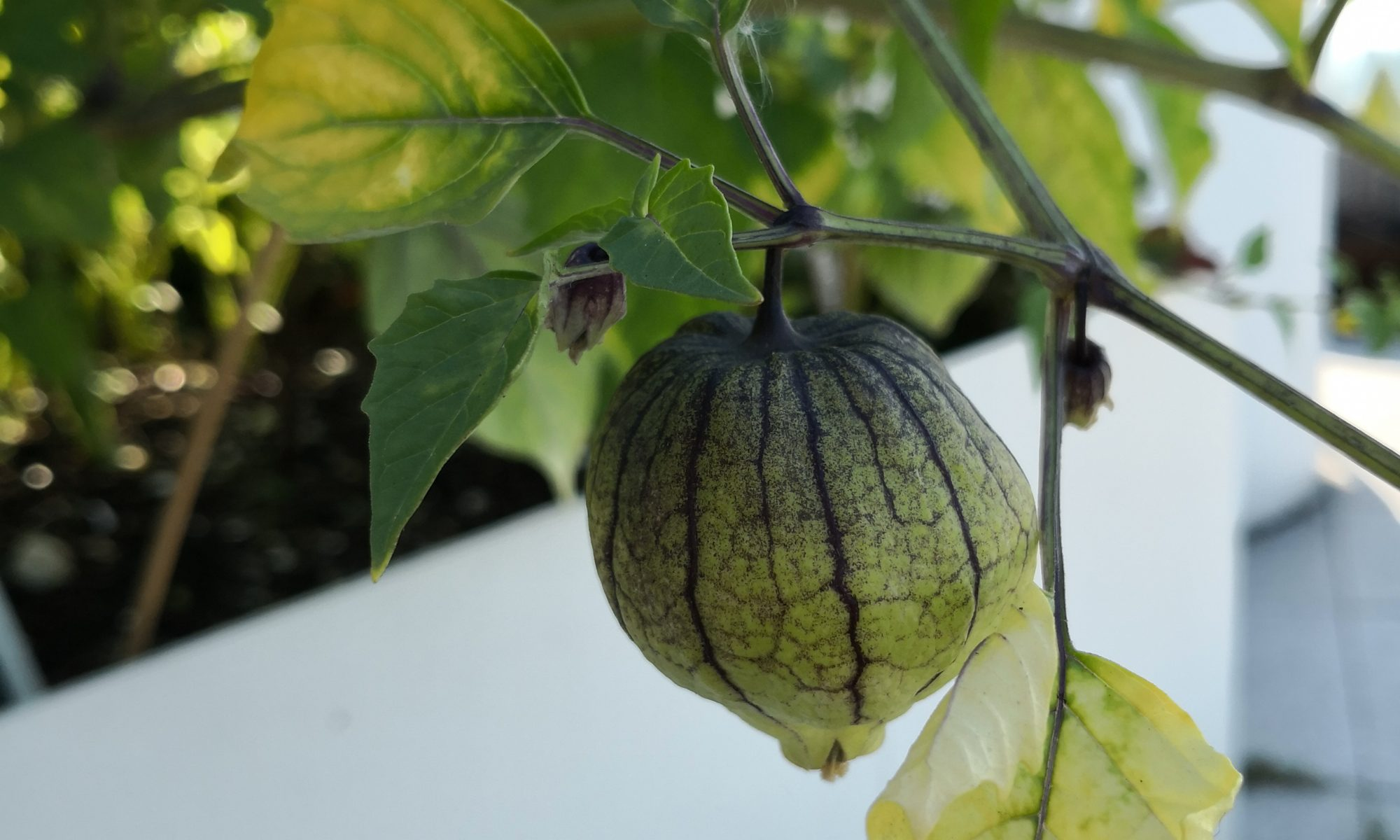 Tomatillo fruit grown in a rooftop planter