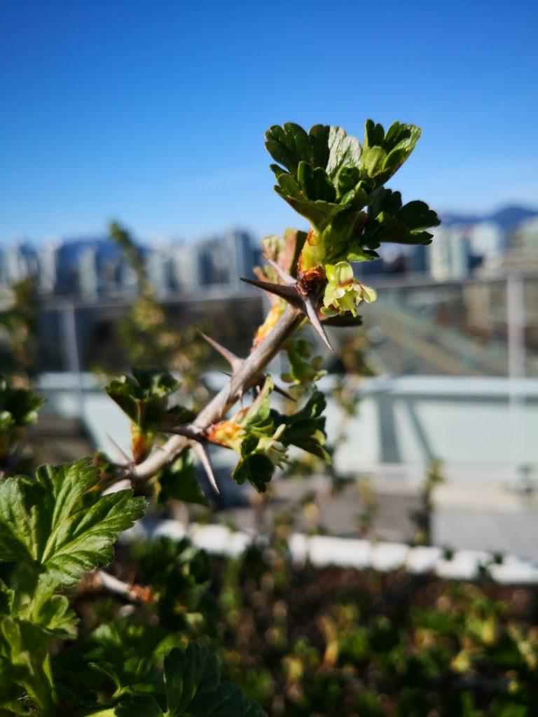 Gooseberry blooms overlooking Vancouver