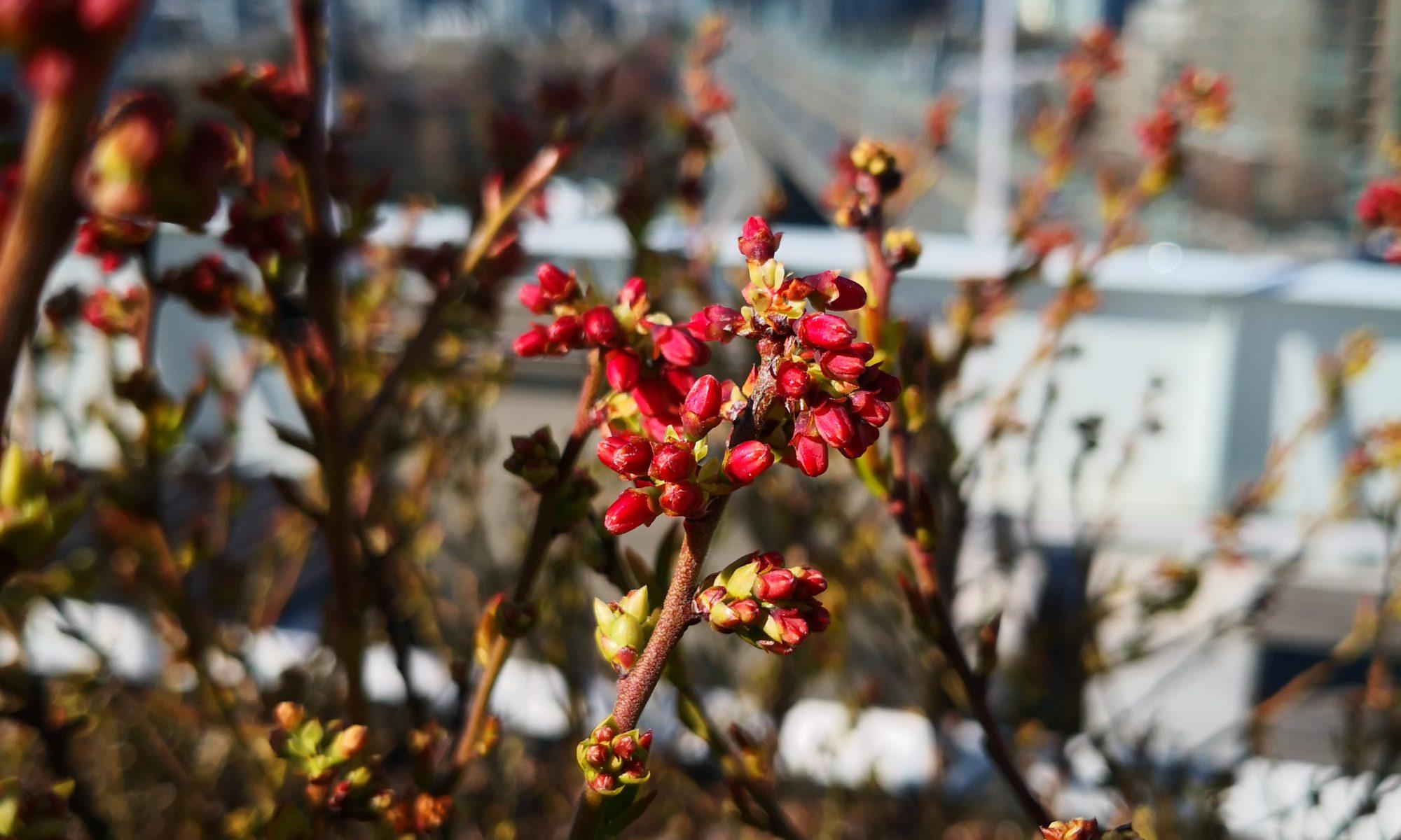 Blueberry blossom buds