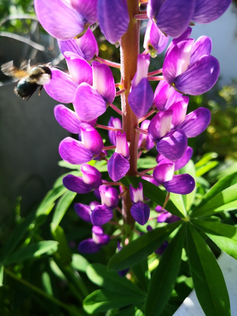 Mason bee landing on a purple lupine